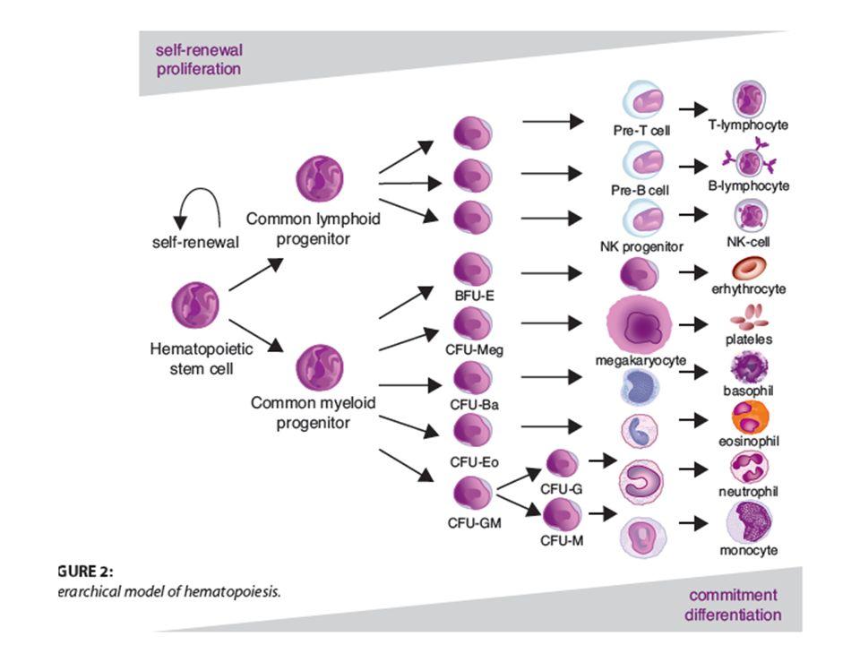 Αιμοποιητικές φωλέες (niche) Κατάλληλα διαμορφωμένο μικροπεριβάλλον κοντά στο ενδόστεο, όπου η αλληλεπίδραση αρχέγονων αιμοποιητικών κυττάρων και των υποστηρικτικών κυττάρων (οστεοβλάστες κλπ) που μέσω υποδοχέων και άλλων διαλυτών παραγόντων να καθορίζουν την κατάσταση ηρεμίας ή πολλαπλασιαμού των αρχεγονων αιμοπ.
