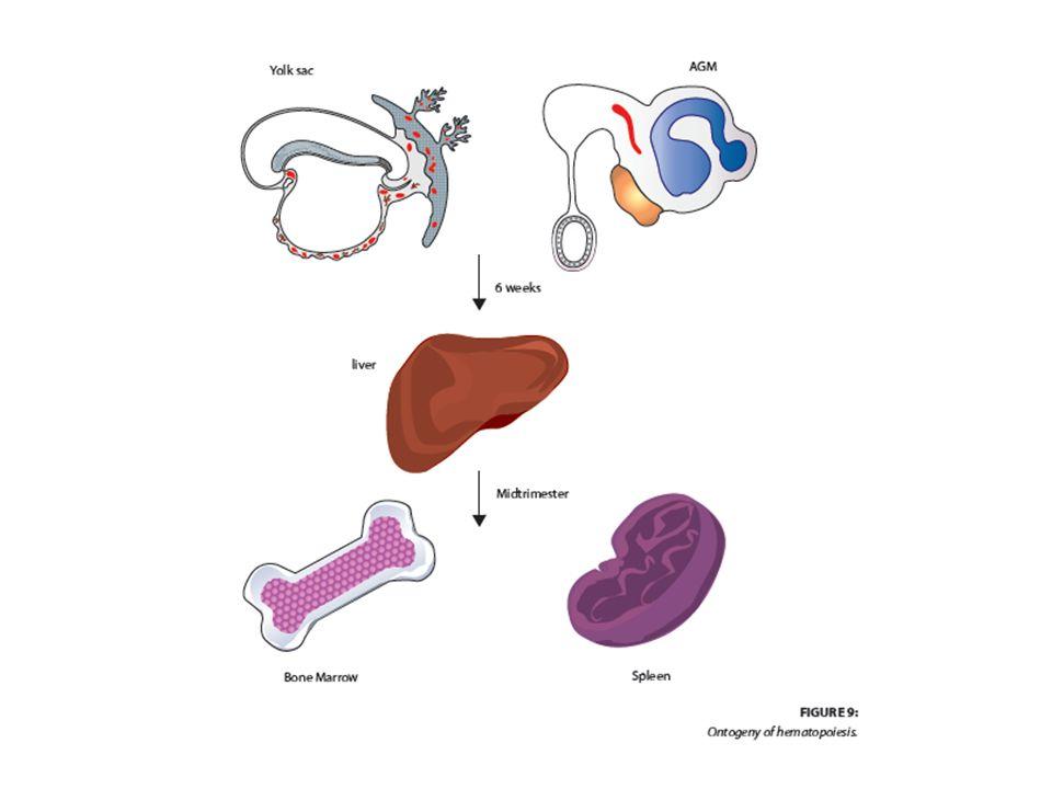 Αρχέγονα αιμοποιητικά κύτταρα Μικρή δεξαμενή – 1-2 Χ 10 6 / άτομο Τεράστιες δυνατότητες – Παραγωγή > 10 11 κυττάρων/ ημέρα Ήρεμη δύναμη – Το 5% μόνον σε κύκλο
