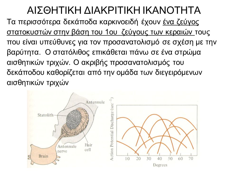 Τα περισσότερα δεκάποδα καρκινοειδή έχουν ένα ζεύγος στατοκυστών στην βάση του 1ου ζεύγους των κεραιών τους που είναι υπεύθυνες για τον προσανατολισμό σε σχέση με την βαρύτητα.