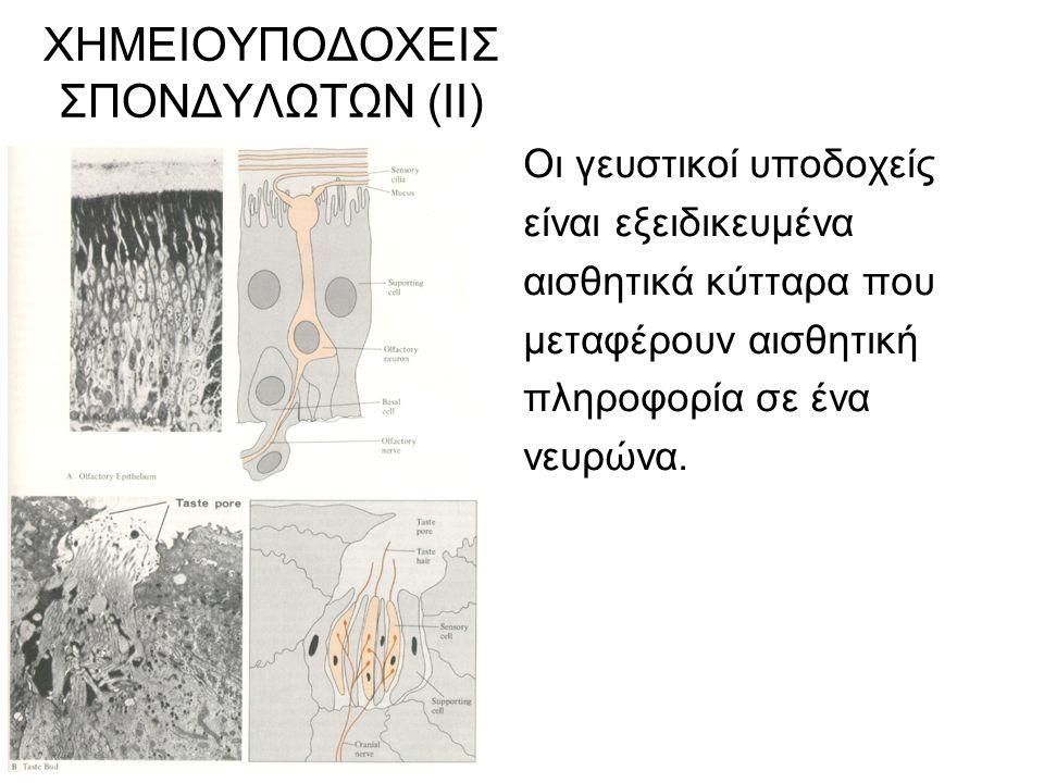 ΧΗΜΕΙΟΥΠΟΔΟΧΕΙΣ ΣΠΟΝΔΥΛΩΤΩΝ (ΙΙ) Οι γευστικοί υποδοχείς είναι εξειδικευμένα αισθητικά κύτταρα που μεταφέρουν αισθητική πληροφορία σε ένα νευρώνα.