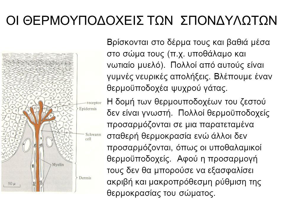 ΟΙ ΘΕΡΜΟΥΠΟΔΟΧΕΙΣ ΤΩΝ ΣΠΟΝΔΥΛΩΤΩΝ Βρίσκονται στο δέρμα τους και βαθιά μέσα στο σώμα τους (π.χ.