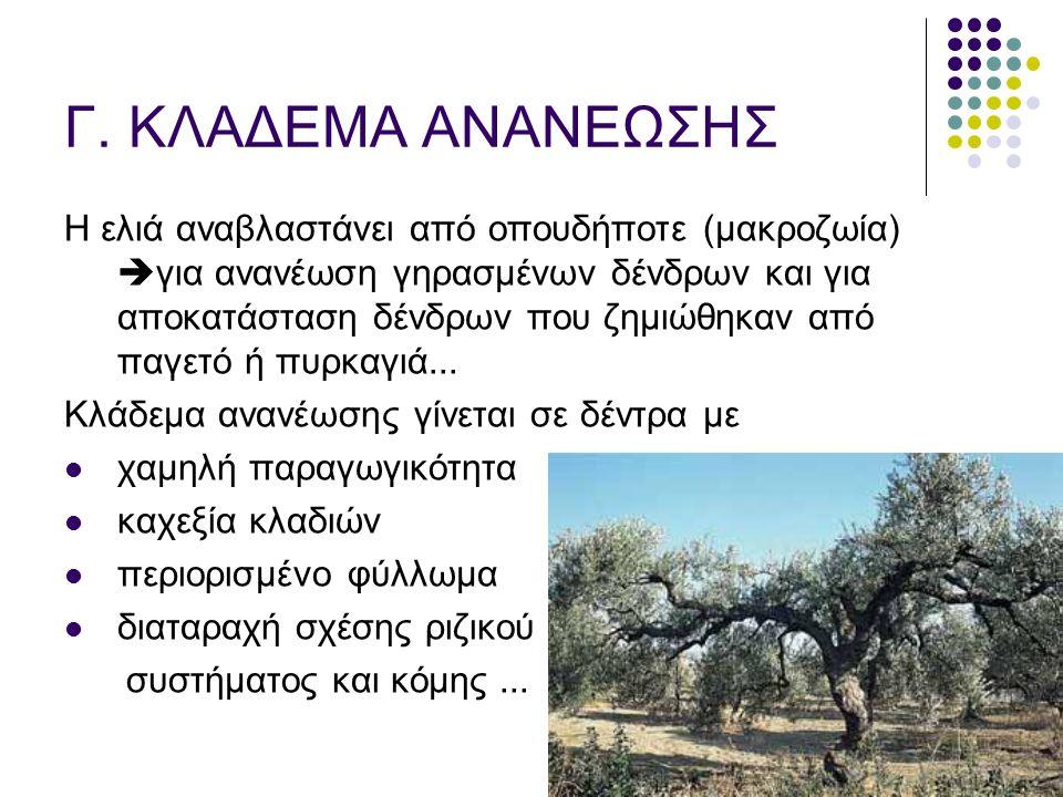 Γ. ΚΛΑΔΕΜΑ ΑΝΑΝΕΩΣΗΣ Η ελιά αναβλαστάνει από οπουδήποτε (μακροζωία)  για ανανέωση γηρασμένων δένδρων και για αποκατάσταση δένδρων που ζημιώθηκαν από
