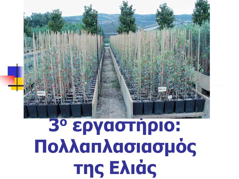 Αμβολάδες= Εμβολιασμένες αγριελιές σε φυτώριο, όπου εμβολιάζονται όταν αναπτυχθούν καλά.