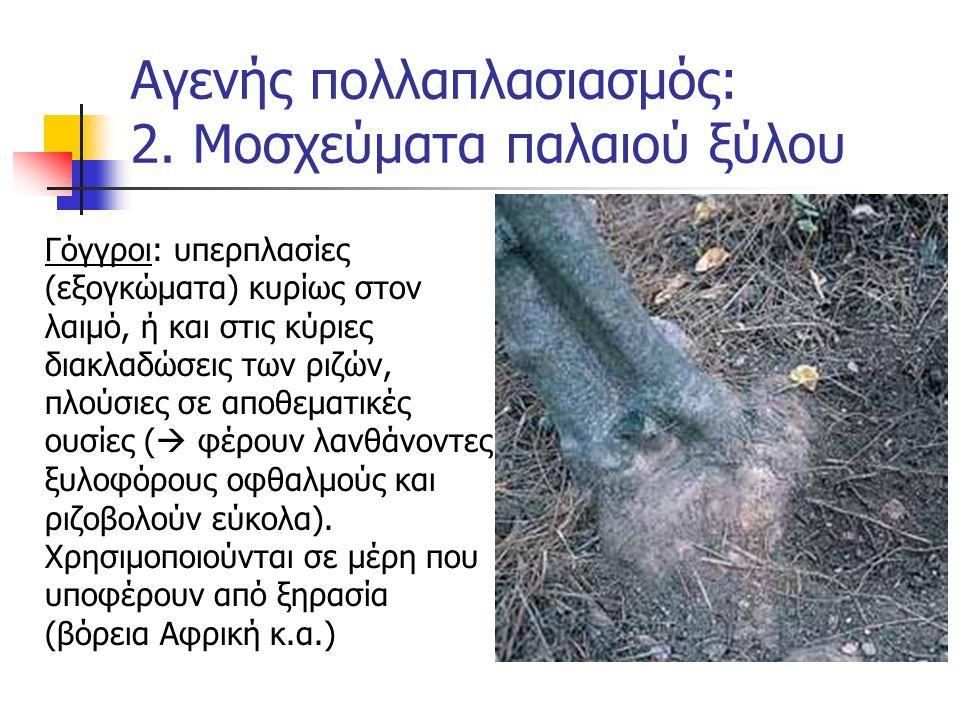 Γόγγροι: υπερπλασίες (εξογκώματα) κυρίως στον λαιμό, ή και στις κύριες διακλαδώσεις των ριζών, πλούσιες σε αποθεματικές ουσίες (  φέρουν λανθάνοντες