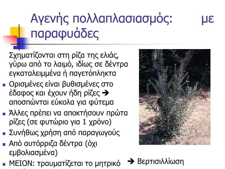 Σχηματίζονται στη ρίζα της ελιάς, γύρω από το λαιμό, ιδίως σε δέντρα εγκαταλειμμένα ή παγετόπληκτα Ορισμένες είναι βυθισμένες στο έδαφος και έχουν ήδη