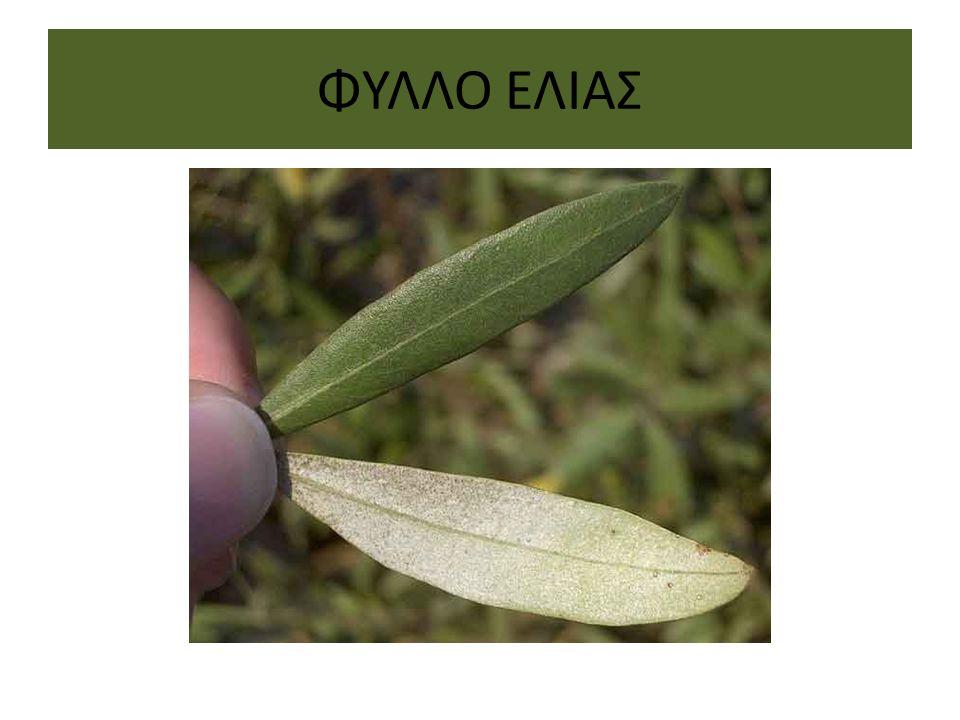 ΦΥΛΛΟ ΕΛΙΑΣ