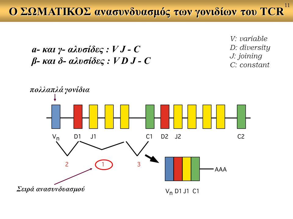 O ΣΩΜΑΤΙΚΟΣ ανασυνδυασμός των γονιδίων του TCR a- και γ- αλυσίδες : V J - C β- και δ- αλυσίδες : V D J - C V: variable D: diversity J: joining C: cons