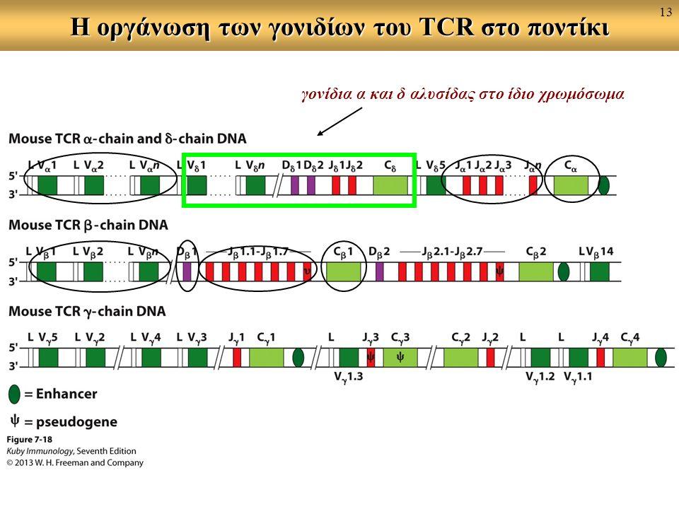 Η οργάνωση των γονιδίων του TCR στο ποντίκι γονίδια α και δ αλυσίδας στο ίδιο χρωμόσωμα 13
