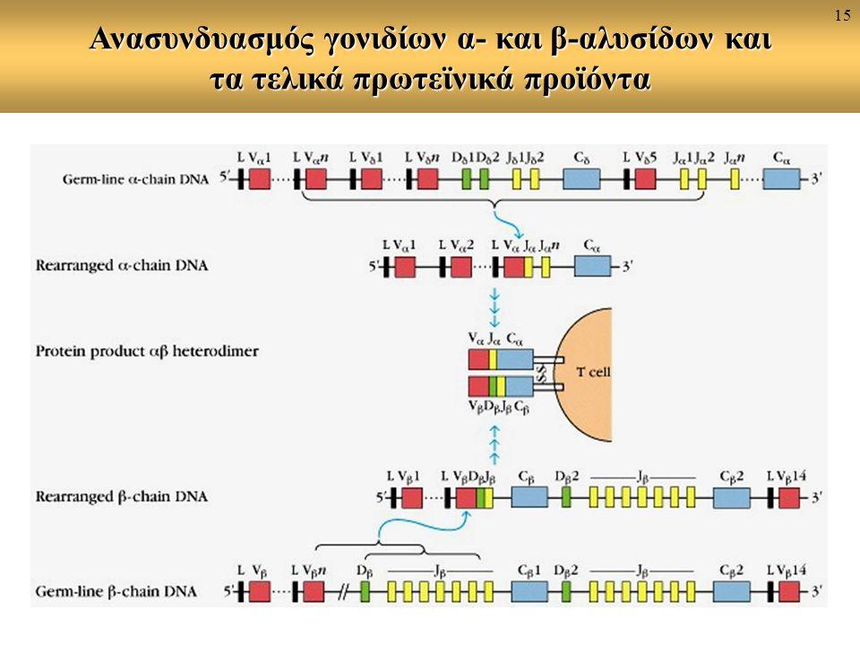 Ανασυνδυασμός γονιδίων α- και β-αλυσίδων και τα τελικά πρωτεϊνικά προϊόντα 15