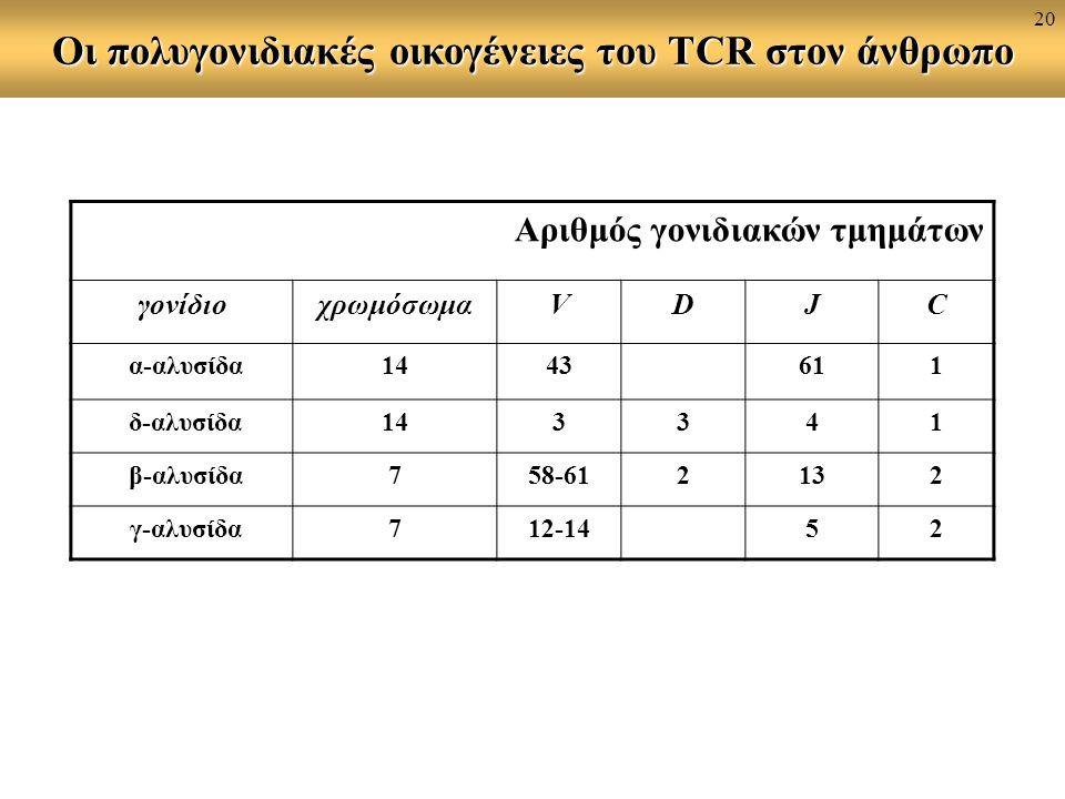 Οι πολυγονιδιακές οικογένειες του TCR στον άνθρωπο Αριθμός γονιδιακών τμημάτων γονίδιοχρωμόσωμαVDJC α-αλυσίδα1443611 δ-αλυσίδα143341 β-αλυσίδα758-612132 γ-αλυσίδα712-1452 20