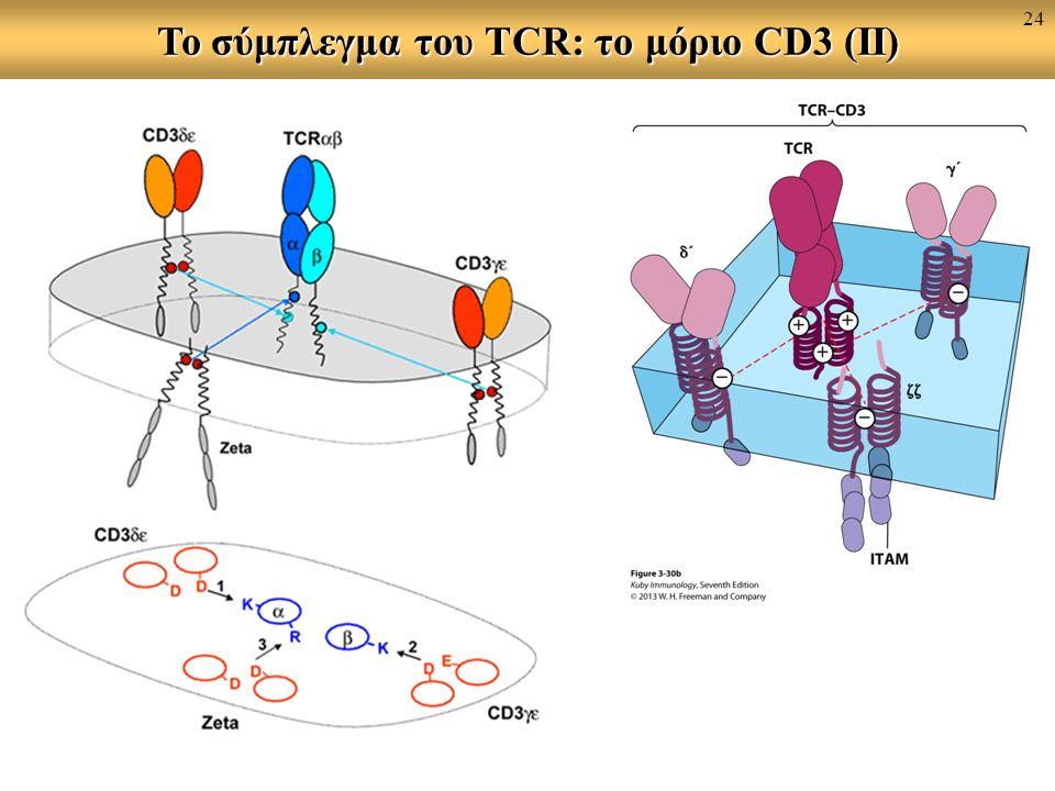 To σύμπλεγμα του TCR: το μόριο CD3 (II) 24