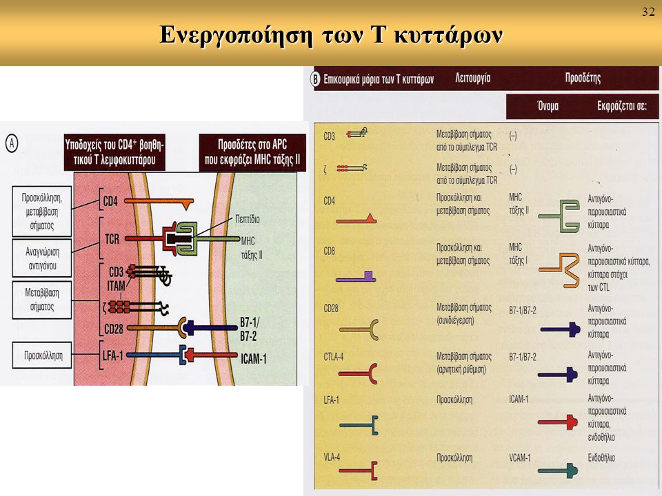 Ενεργοποίηση των Τ κυττάρων 32