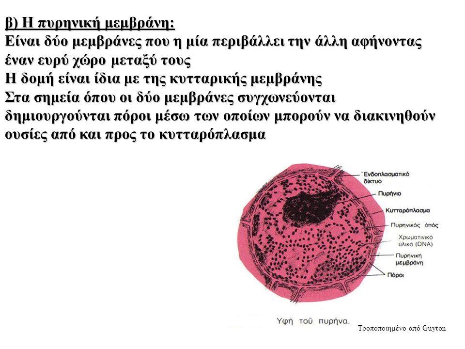 β) Η πυρηνική μεμβράνη: Είναι δύο μεμβράνες που η μία περιβάλλει την άλλη αφήνοντας έναν ευρύ χώρο μεταξύ τους Η δομή είναι ίδια με της κυτταρικής μεμβράνης Στα σημεία όπου οι δύο μεμβράνες συγχωνεύονται δημιουργούνται πόροι μέσω των οποίων μπορούν να διακινηθούν ουσίες από και προς το κυτταρόπλασμα Τροποποιημένο από Guyton
