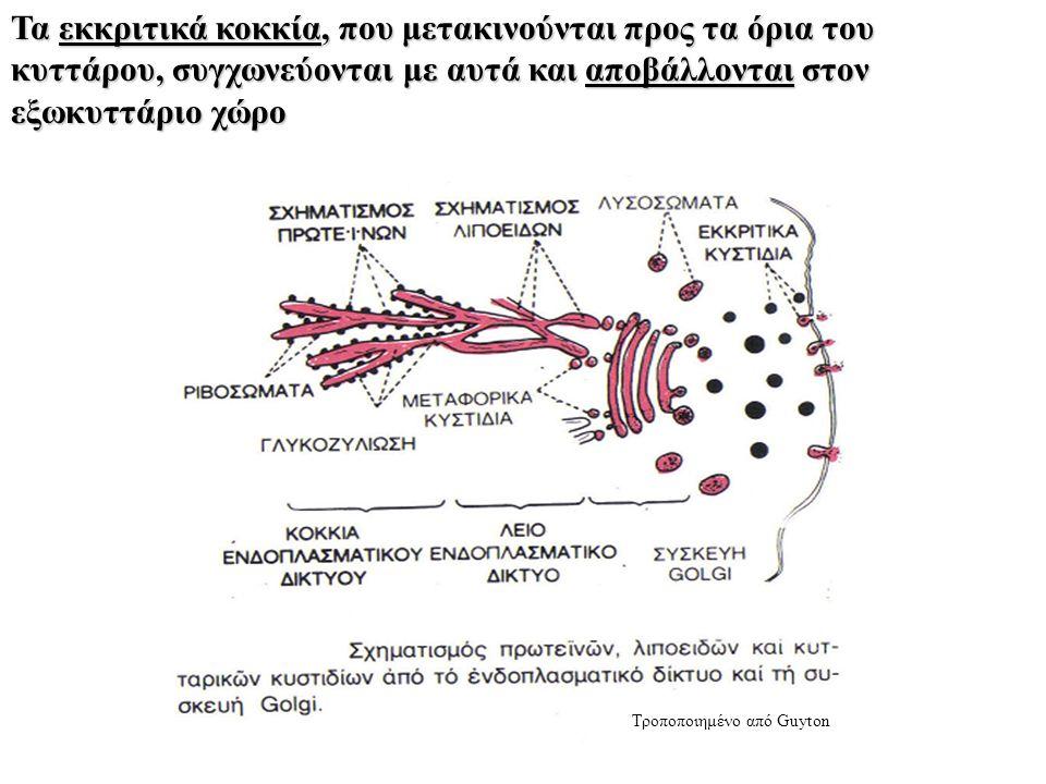 Τα εκκριτικά κοκκία, που μετακινούνται προς τα όρια του κυττάρου, συγχωνεύονται με αυτά και αποβάλλονται στον εξωκυττάριο χώρο Τροποποιημένο από Guyton