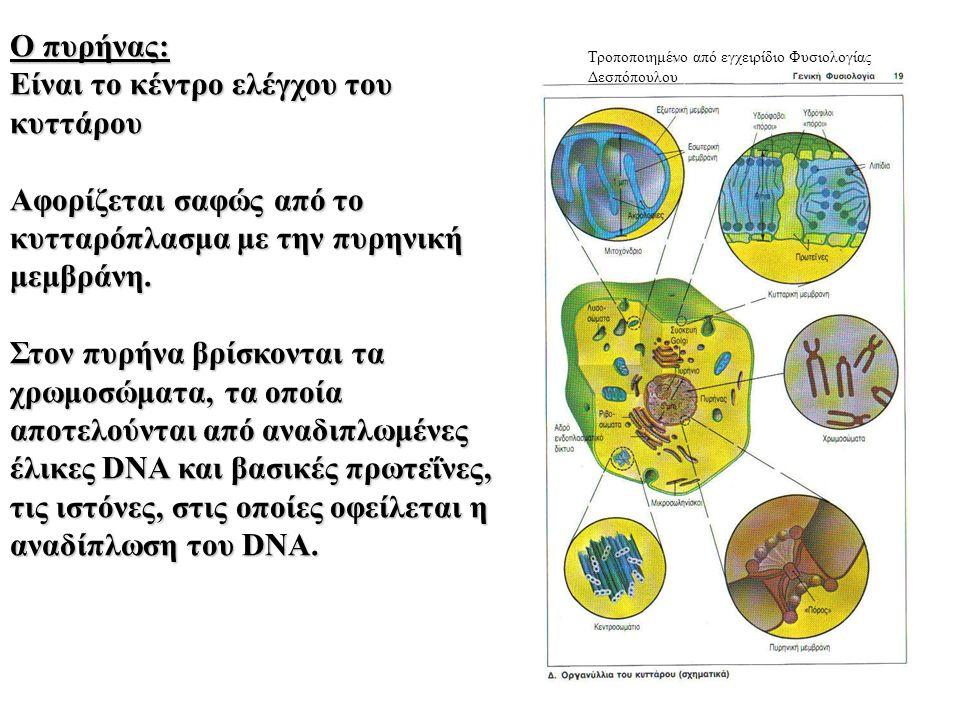 Ο πυρήνας: Είναι το κέντρο ελέγχου του κυττάρου Αφορίζεται σαφώς από το κυτταρόπλασμα με την πυρηνική μεμβράνη.