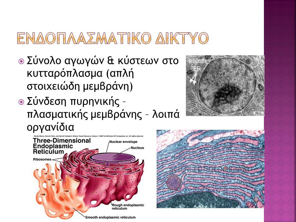  Σύνολο αγωγών & κύστεων στο κυτταρόπλασμα (απλή στοιχειώδη μεμβράνη)  Σύνδεση πυρηνικής – πλασματικής μεμβράνης – λοιπά οργανίδια