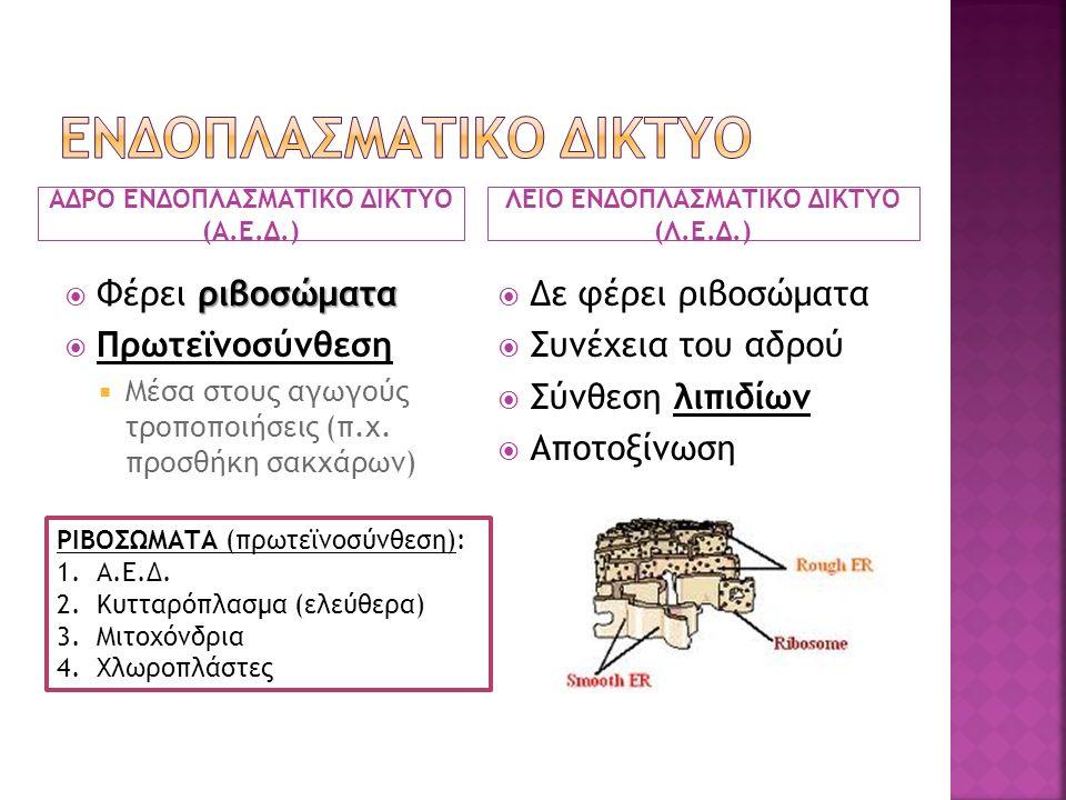 ΑΔΡΟ ΕΝΔΟΠΛΑΣΜΑΤΙΚΟ ΔΙΚΤΥΟ (Α.Ε.Δ.) ΛΕΙΟ ΕΝΔΟΠΛΑΣΜΑΤΙΚΟ ΔΙΚΤΥΟ (Λ.Ε.Δ.) ριβοσώματα  Φέρει ριβοσώματα  Πρωτεϊνοσύνθεση  Μέσα στους αγωγούς τροποποιήσεις (π.χ.