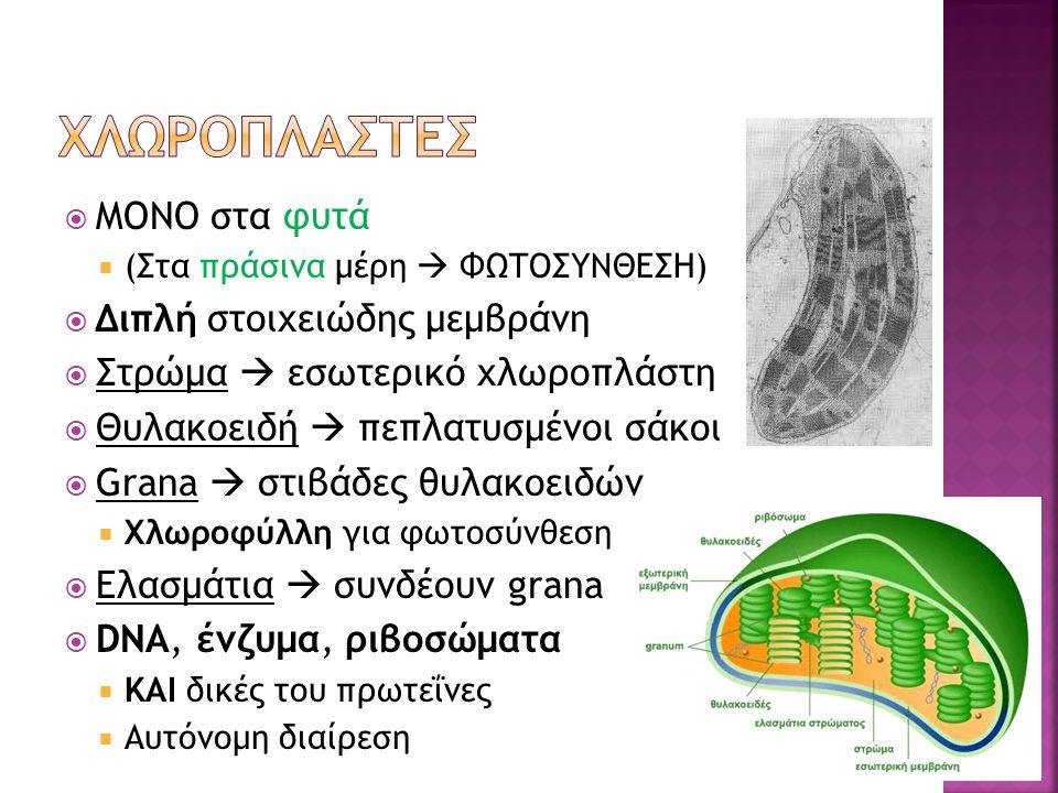  ΜΟΝΟ στα φυτά  (Στα πράσινα μέρη  ΦΩΤΟΣΥΝΘΕΣΗ)  Διπλή στοιχειώδης μεμβράνη  Στρώμα  εσωτερικό χλωροπλάστη  Θυλακοειδή  πεπλατυσμένοι σάκοι  Grana  στιβάδες θυλακοειδών  Χλωροφύλλη για φωτοσύνθεση  Ελασμάτια  συνδέουν grana  DNA, ένζυμα, ριβοσώματα  ΚΑΙ δικές του πρωτεΐνες  Αυτόνομη διαίρεση