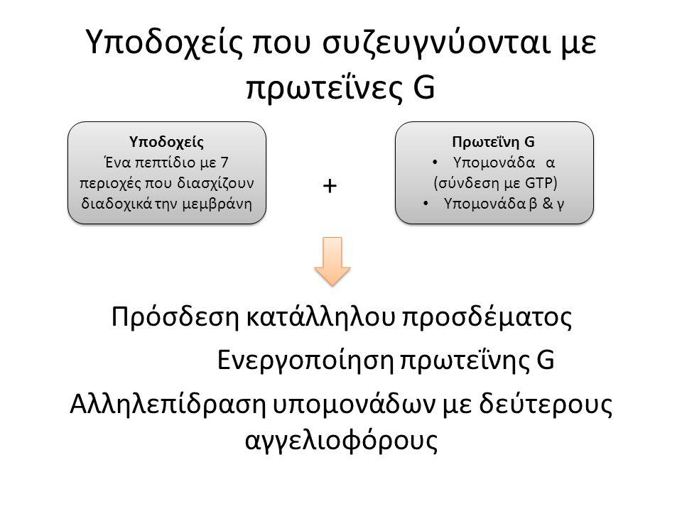 Υποδοχείς που συζευγνύονται με πρωτεΐνες G + Πρόσδεση κατάλληλου προσδέματος Ενεργοποίηση πρωτεΐνης G Αλληλεπίδραση υπομονάδων με δεύτερους αγγελιοφόρους Υποδοχείς Ένα πεπτίδιο με 7 περιοχές που διασχίζουν διαδοχικά την μεμβράνη Υποδοχείς Ένα πεπτίδιο με 7 περιοχές που διασχίζουν διαδοχικά την μεμβράνη Πρωτεΐνη G Υπομονάδα α (σύνδεση με GTP) Υπομονάδα β & γ Πρωτεΐνη G Υπομονάδα α (σύνδεση με GTP) Υπομονάδα β & γ