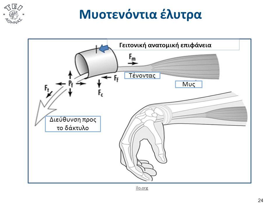 Μυοτενόντια έλυτρα 24 ilo.org Γειτονική ανατομική επιφάνεια Μυς Τένοντας Διεύθυνση προς το δάκτυλο