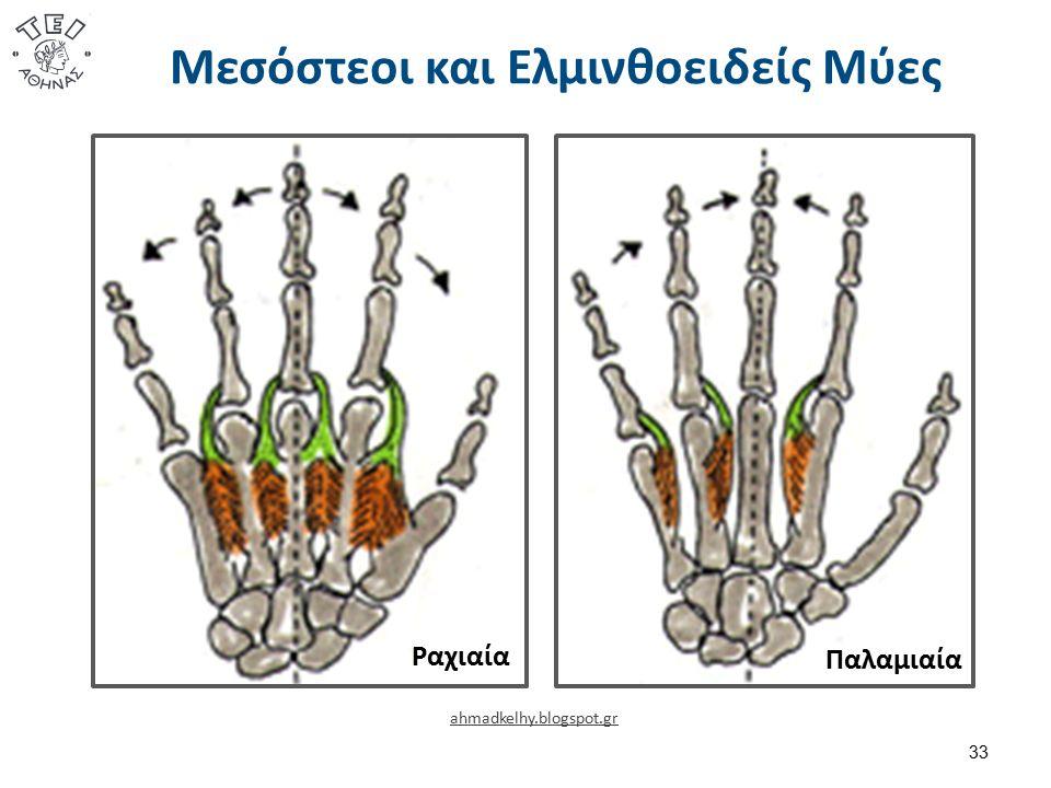 Μεσόστεοι και Ελμινθοειδείς Μύες 33 Ραχιαία Παλαμιαία ahmadkelhy.blogspot.gr
