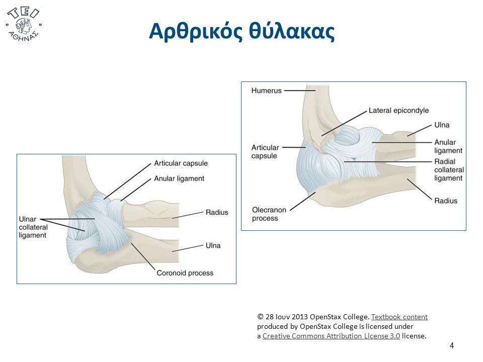Τενόντια Έλυτρα  Τα τενόντια έλυτρα των καμπτήρων και το σύστημα των εφαρμοζόμενων τροχαλιών:  Διατηρούν σχετικά σταθερούς τους μοχλοβραχίονες.