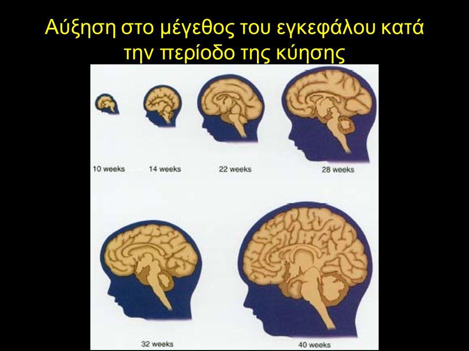 Αύξηση στο μέγεθος του εγκεφάλου κατά την περίοδο της κύησης