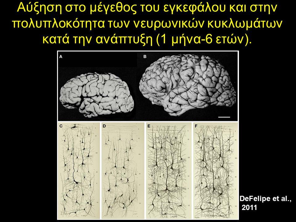 Αύξηση στο μέγεθος του εγκεφάλου και στην πολυπλοκότητα των νευρωνικών κυκλωμάτων κατά την ανάπτυξη (1 μήνα-6 ετών). DeFelipe et al., 2011