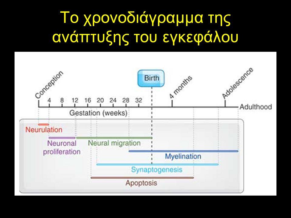 Το χρονοδιάγραμμα της ανάπτυξης του εγκεφάλου