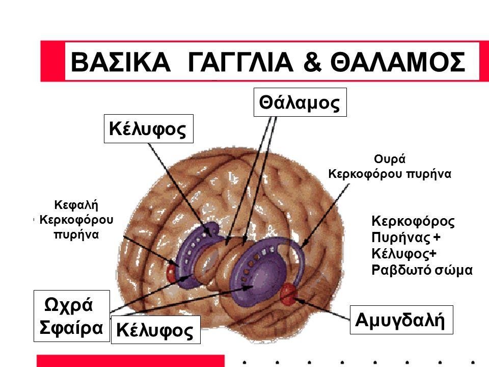 ΒΑΣΙΚΑ ΓΑΓΓΛΙΑ & ΘΑΛΑΜΟΣ Θάλαμος Ουρά Κερκοφόρου πυρήνα Κερκοφόρος Πυρήνας + Κέλυφος+ Ραβδωτό σώμα Κέλυφος Κεφαλή Κερκοφόρου πυρήνα Κέλυφος Ωχρά Σφαίρ