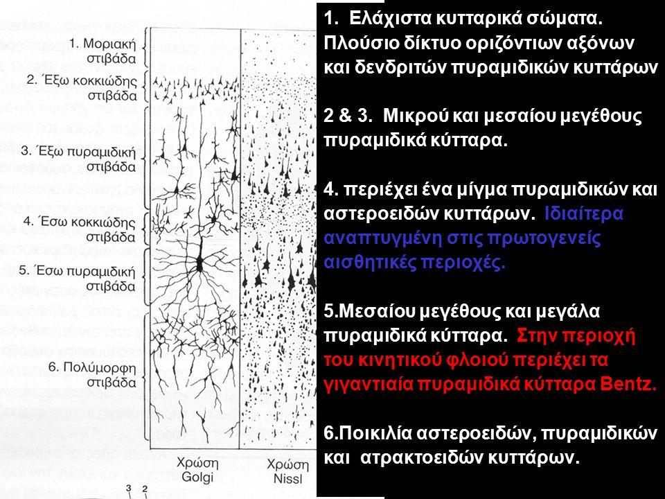 1. Ελάχιστα κυτταρικά σώματα. Πλούσιο δίκτυο οριζόντιων αξόνων και δενδριτών πυραμιδικών κυττάρων 2 & 3. Μικρού και μεσαίου μεγέθους πυραμιδικά κύτταρ