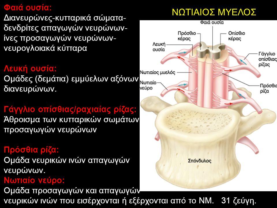 ΝΩΤΙΑΙΟΣ ΜΥΕΛΟΣ Φαιά ουσία: Διανευρώνες-κυτταρικά σώματα- δενδρίτες απαγωγών νευρώνων- ίνες προσαγωγών νευρώνων- νευρογλοιακά κύτταρα Λευκή ουσία: Ομάδες (δεμάτια) εμμύελων αξόνων διανευρώνων.