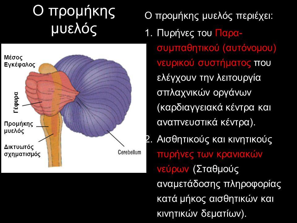 Ο προμήκης μυελός Ο προμήκης μυελός περιέχει: 1.Πυρήνες του Παρα- συμπαθητικού (αυτόνομου) νευρικού συστήματος που ελέγχουν την λειτουργία σπλαχνικών
