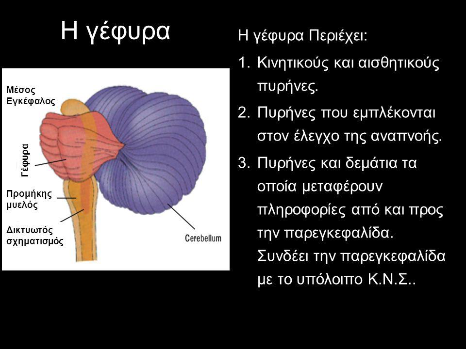 Η γέφυρα Η γέφυρα Περιέχει: 1.Κινητικούς και αισθητικούς πυρήνες. 2.Πυρήνες που εμπλέκονται στον έλεγχο της αναπνοής. 3.Πυρήνες και δεμάτια τα οποία μ