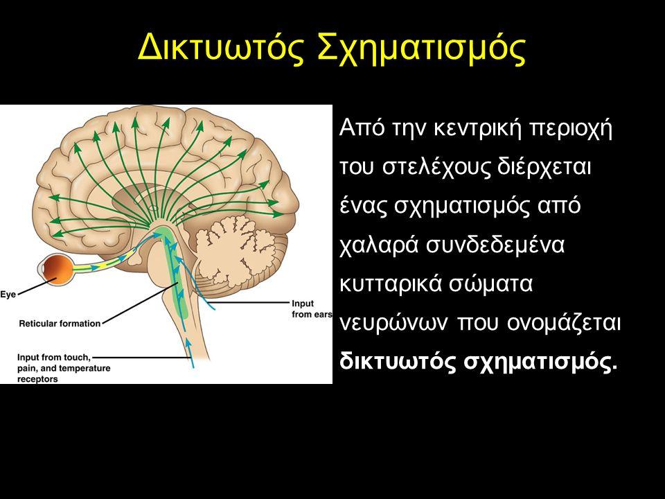 ΤΟ ΣΤΕΛΕΧΟΣ Δικτυωτός Σχηματισμός Από την κεντρική περιοχή του στελέχους διέρχεται ένας σχηματισμός από χαλαρά συνδεδεμένα κυτταρικά σώματα νευρώνων που ονομάζεται δικτυωτός σχηματισμός.