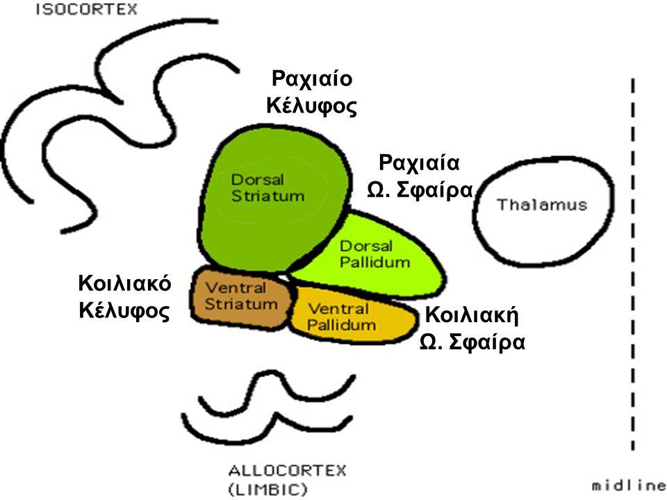 Ραχιαίο Κέλυφος Κοιλιακό Κέλυφος Ραχιαία Ω. Σφαίρα Κοιλιακή Ω. Σφαίρα