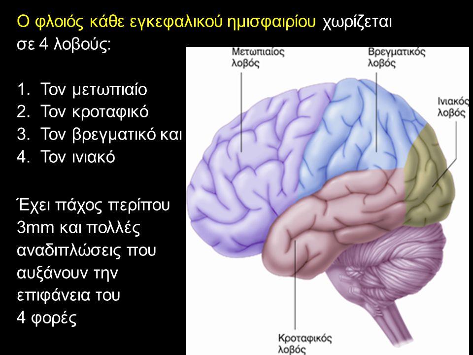 Ο φλοιός κάθε εγκεφαλικού ημισφαιρίου χωρίζεται σε 4 λοβούς: 1.Τον μετωπιαίο 2.Τον κροταφικό 3.Τον βρεγματικό και 4.Τον ινιακό Έχει πάχος περίπου 3mm