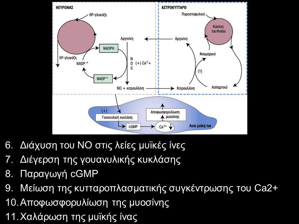 6.Διάχυση του ΝΟ στις λείες μυϊκές ίνες 7.Διέγερση της γουανυλικής κυκλάσης 8.Παραγωγή cGMP 9.Μείωση της κυτταροπλασματικής συγκέντρωσης του Ca2+ 10.Α
