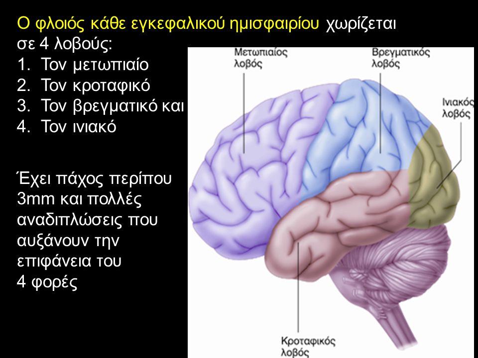 Ο φλοιός κάθε εγκεφαλικού ημισφαιρίου χωρίζεται σε 4 λοβούς: 1.Τον μετωπιαίο 2.Τον κροταφικό 3.Τον βρεγματικό και 4.Τον ινιακό Έχει πάχος περίπου 3mm και πολλές αναδιπλώσεις που αυξάνουν την επιφάνεια του 4 φορές