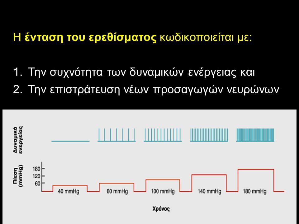 Η ένταση του ερεθίσματος κωδικοποιείται με: 1.Την συχνότητα των δυναμικών ενέργειας και 2.Την επιστράτευση νέων προσαγωγών νευρώνων