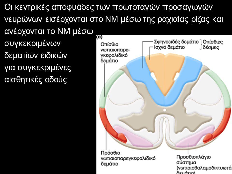 Οι κεντρικές αποφυάδες των πρωτοταγών προσαγωγών νευρώνων εισέρχονται στο ΝΜ μέσω της ραχιαίας ρίζας και ανέρχονται το ΝΜ μέσω συγκεκριμένων δεματίων ειδικών για συγκεκριμένες αισθητικές οδούς