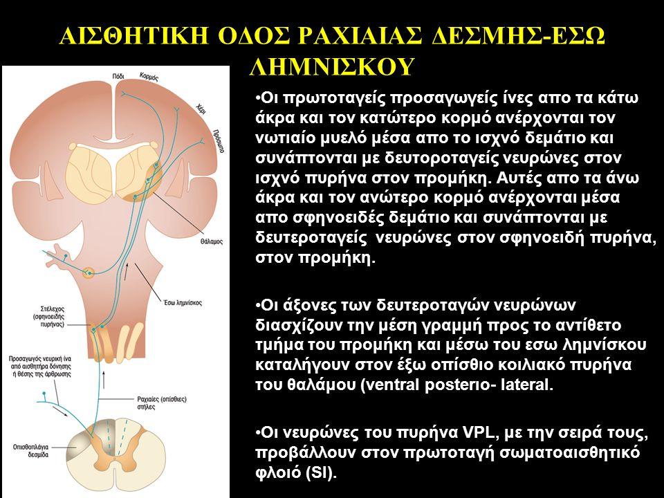 ΑΙΣΘΗΤΙΚΗ ΟΔΟΣ ΡΑΧΙΑΙΑΣ ΔΕΣΜΗΣ-ΕΣΩ ΛΗΜΝΙΣΚΟΥ Οι πρωτοταγείς προσαγωγείς ίνες απο τα κάτω άκρα και τον κατώτερο κορμό ανέρχονται τον νωτιαίο μυελό μέσα απο το ισχνό δεμάτιο και συνάπτονται με δευτοροταγείς νευρώνες στον ισχνό πυρήνα στον προμήκη.