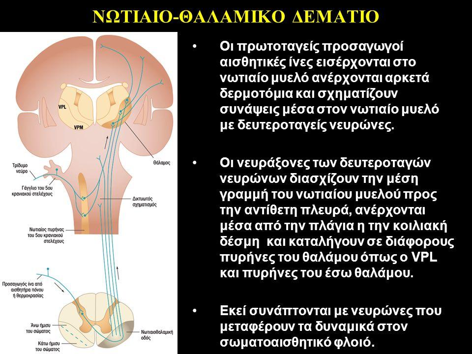 ΝΩΤΙΑΙΟ-ΘΑΛΑΜΙΚΟ ΔΕΜΑΤΙΟ Οι πρωτοταγείς προσαγωγοί αισθητικές ίνες εισέρχονται στο νωτιαίο μυελό ανέρχονται αρκετά δερμοτόμια και σχηματίζουν συνάψεις μέσα στον νωτιαίο μυελό με δευτεροταγείς νευρώνες.
