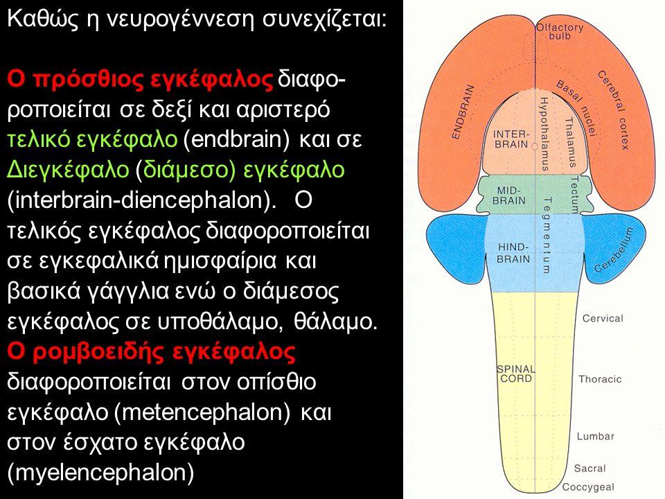 Καθώς η νευρογέννεση συνεχίζεται: Ο πρόσθιος εγκέφαλος διαφο- ροποιείται σε δεξί και αριστερό τελικό εγκέφαλο (endbrain) και σε Διεγκέφαλο (διάμεσο) εγκέφαλο (interbrain-diencephalon).