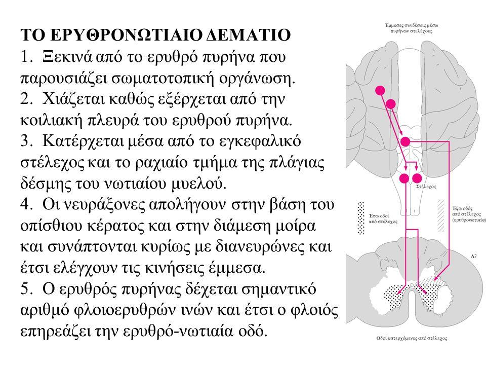 ΤΟ ΕΡΥΘΡΟΝΩΤΙΑΙΟ ΔΕΜΑΤΙΟ 1. Ξεκινά από το ερυθρό πυρήνα που παρουσιάζει σωματοτοπική οργάνωση.