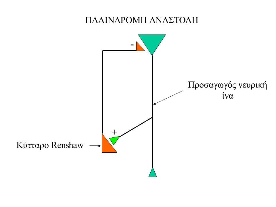 ΠΑΛΙΝΔΡΟΜΗ ΑΝΑΣΤΟΛΗ Προσαγωγός νευρική ίνα Κύτταρο Renshaw + -