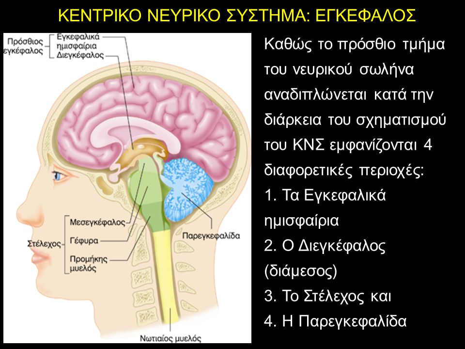 ΚΕΝΤΡΙΚΟ ΝΕΥΡΙΚΟ ΣΥΣΤΗΜΑ: ΕΓΚΕΦΑΛΟΣ Καθώς το πρόσθιο τμήμα του νευρικού σωλήνα αναδιπλώνεται κατά την διάρκεια του σχηματισμού του ΚΝΣ εμφανίζονται 4 διαφορετικές περιοχές: 1.