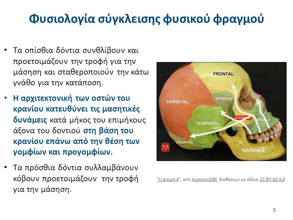 Φυσιολογία σύγκλεισης φυσικού φραγμού Τα οπίσθια δόντια συνθλίβουν και προετοιμάζουν την τροφή για την μάσηση και σταθεροποιούν την κάτω γνάθο για την κατάποση.