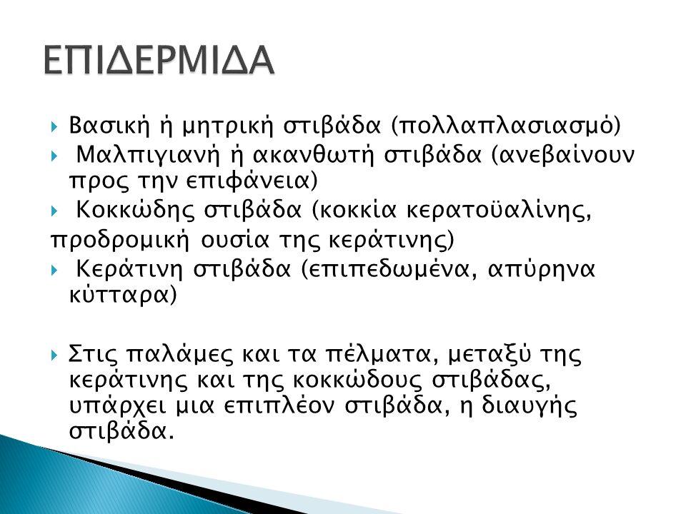  Βασική ή μητρική στιβάδα (πολλαπλασιασμό)  Μαλπιγιανή ή ακανθωτή στιβάδα (ανεβαίνουν προς την επιφάνεια)  Κοκκώδης στιβάδα (κοκκία κερατοϋαλίνης, προδρομική ουσία της κεράτινης)  Κεράτινη στιβάδα (επιπεδωμένα, απύρηνα κύτταρα)  Στις παλάμες και τα πέλματα, μεταξύ της κεράτινης και της κοκκώδους στιβάδας, υπάρχει μια επιπλέον στιβάδα, η διαυγής στιβάδα.