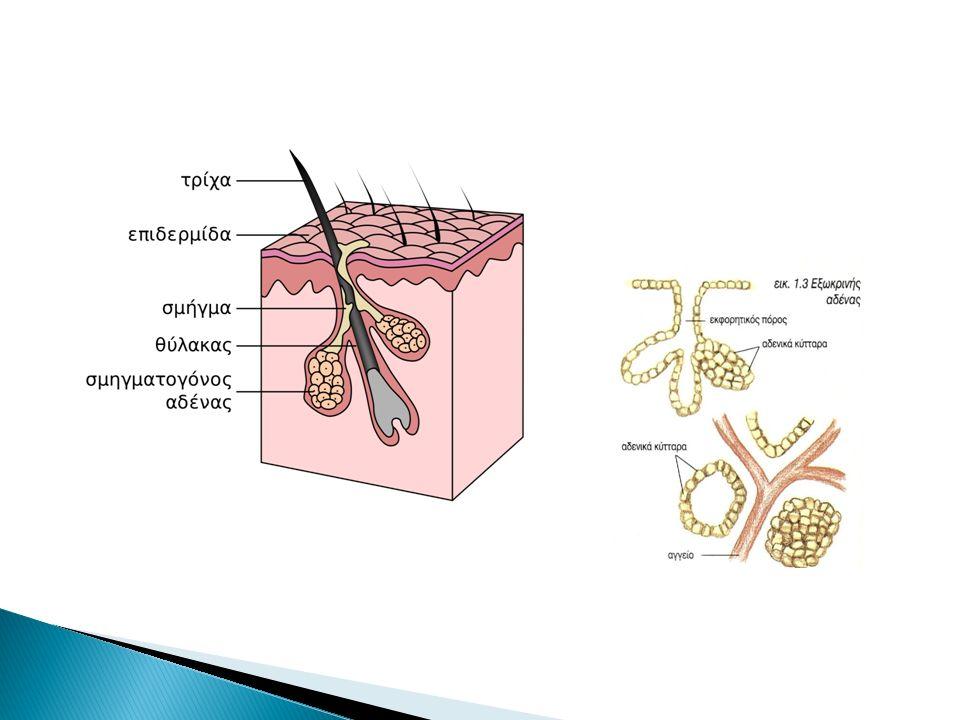  Θηλώδη (επιφανειακό)  Δικτυωτή (Βαθύτερο τμήμα)  τρέφει και υποστηρίζει την επιδερμίδα ◦ Κολλαγόνοι ίνες- δομική υποστήριξη ◦ Οι ελαστικές ίνες-ελαστικότητα του δέρματος ◦ Ινοβλάστες ◦ Αγγεία και νέυρα